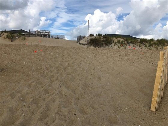 Sand fencing and sprigging is being installed as part of Nags Head's beach nourishment project.
